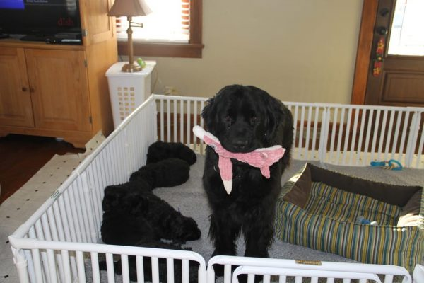 Large Puppy Whelping Pen