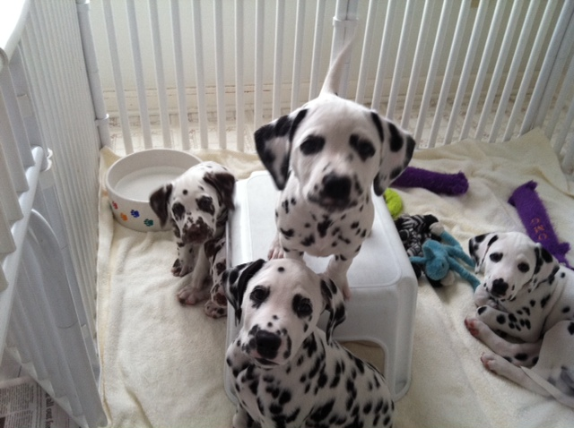 Professional Canine Dog Trainer